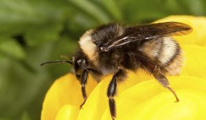 A Western Bumble Bee