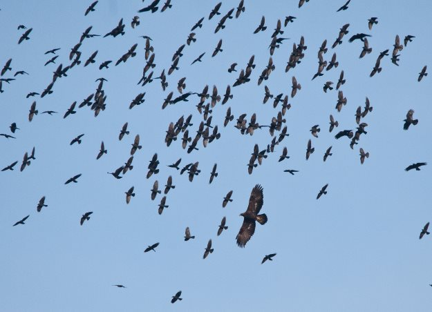 Golden Eagles flock in the sky