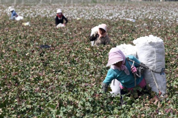 Chinese farm workers picking cotton in Xinjiang Province, China