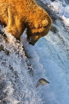 Grizzly Bear Fishing at Brooks Falls