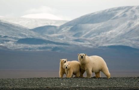 Polar bears on Wrangel Island in the Republic of Chukotka. Photo by Alexey Bezrukov.