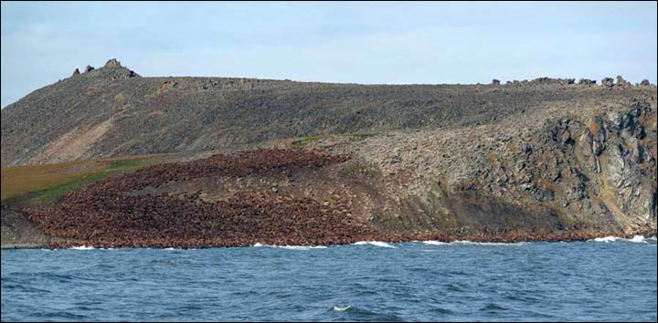 Walrus herd at Cape Kozhevnikov. From the Siberian Times
