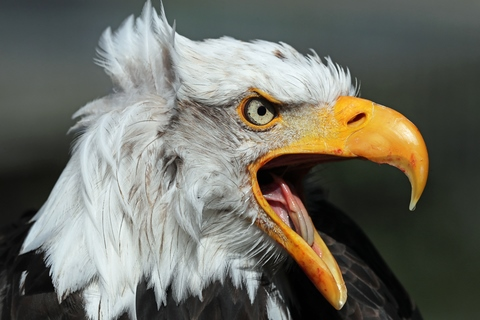 Angry American Eagle - Dreamstime_126951891