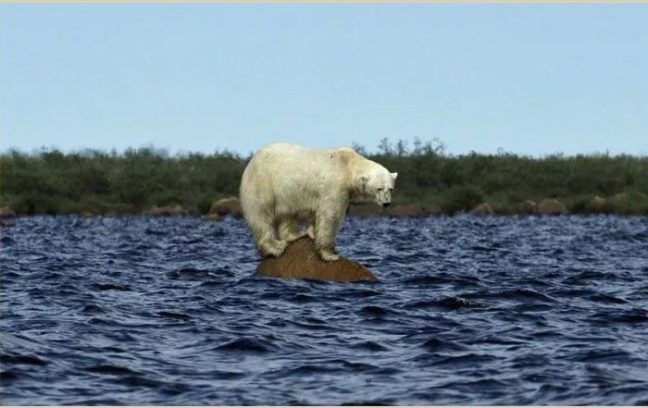 Polar bear hunting Beluga whales at the Seal River.