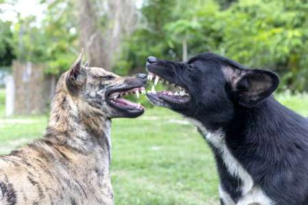 Two dogs fighting.