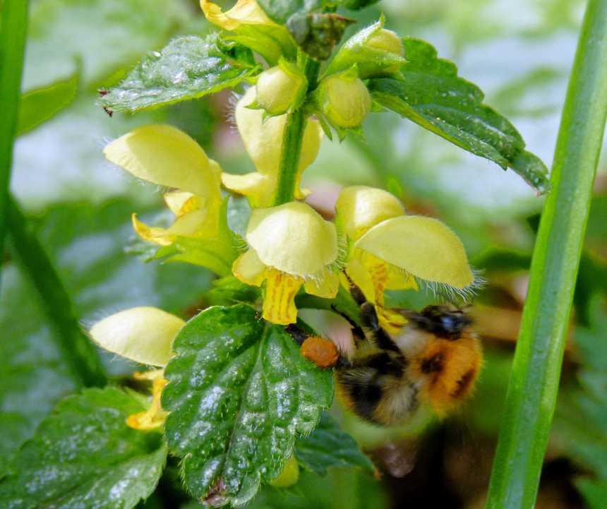 Bee on woodland Archangel