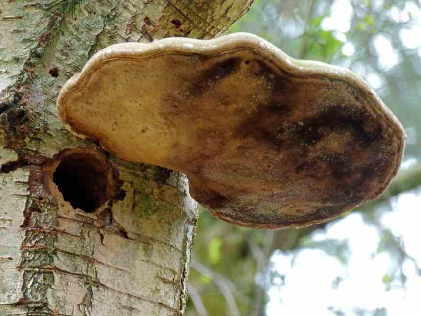 Woodpecker Hole with Shelf Fungi Verandah