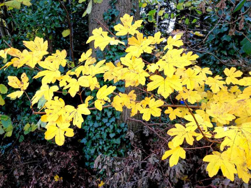 Yellowing leaves on a branch