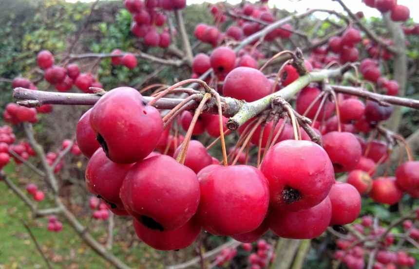 Crimson Crab apples