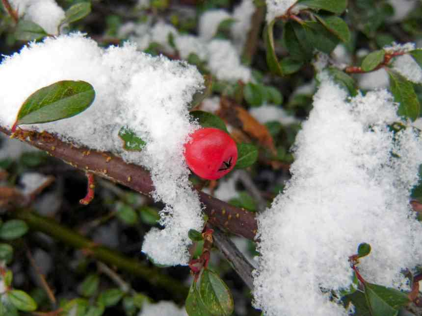 Single red berry in the snow