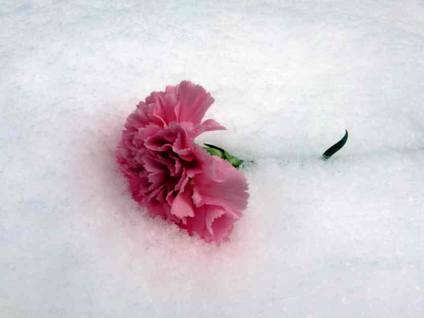 Pretty pink carnation in the snow