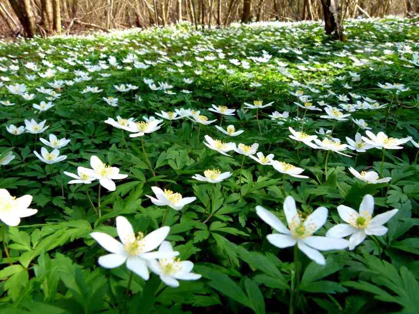 Wonderland of Windflowers