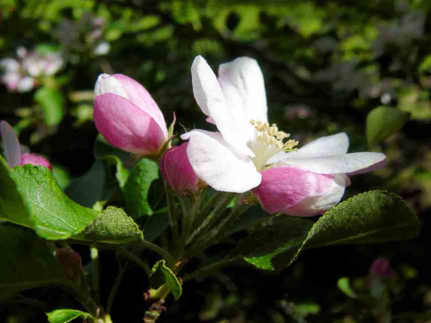 Apple blossom and buds