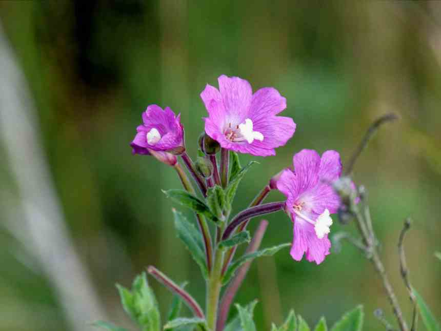 Great Hairy Willowherb Epilobium hirsutum