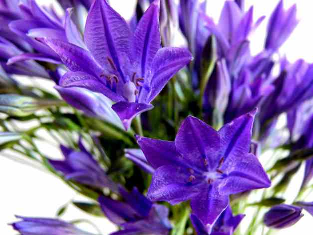 Californian Bluebell low res