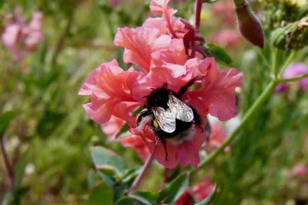 Clarkia Mountain Garland bee low res