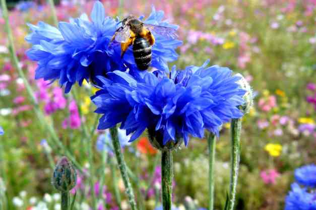 Cornflower fat bee low res
