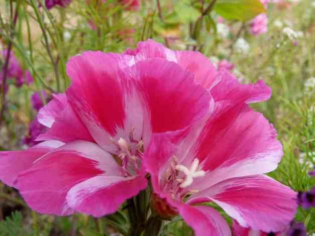 Godetia pink 1 low res