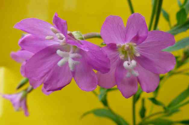 Great Hairy Willowherb 2 low res