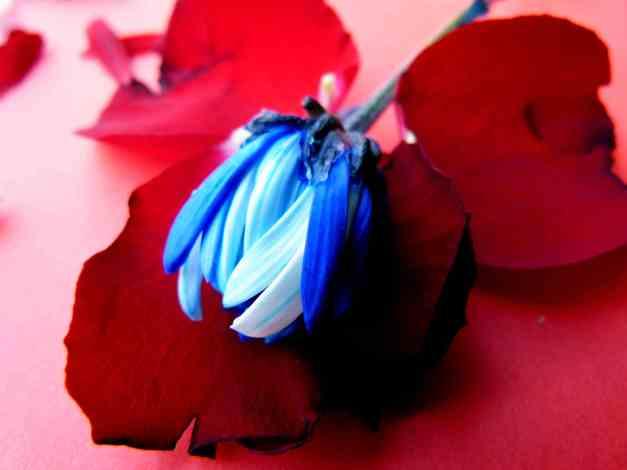 Chrysanthemum blue red petal low res