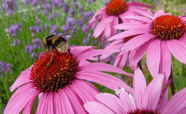 Cone flower with Bee low res