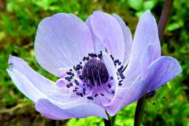 Anemone purple2 low res