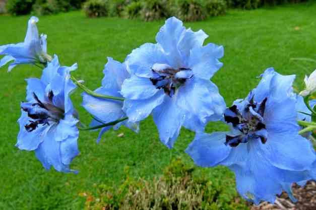Delphiniums blue low res