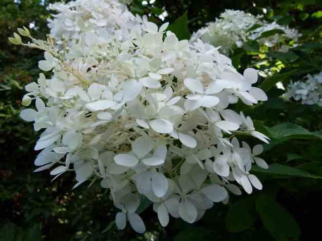 Hydrangea white 3 low res