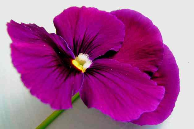 Pansy purple low res