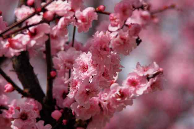 Cherry blossoms low res1