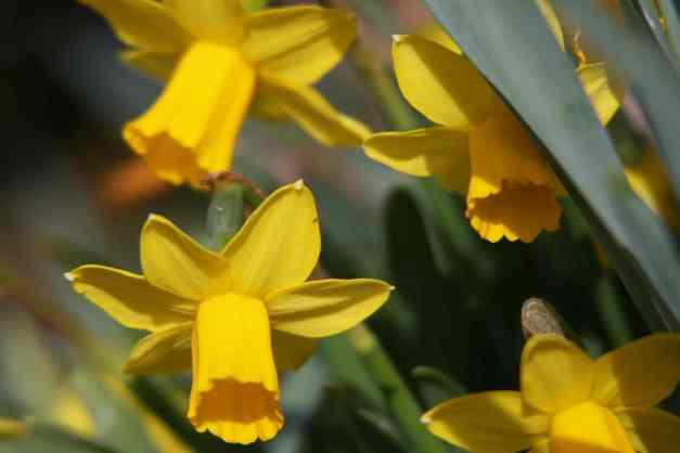 Daffodils mini 2 low res