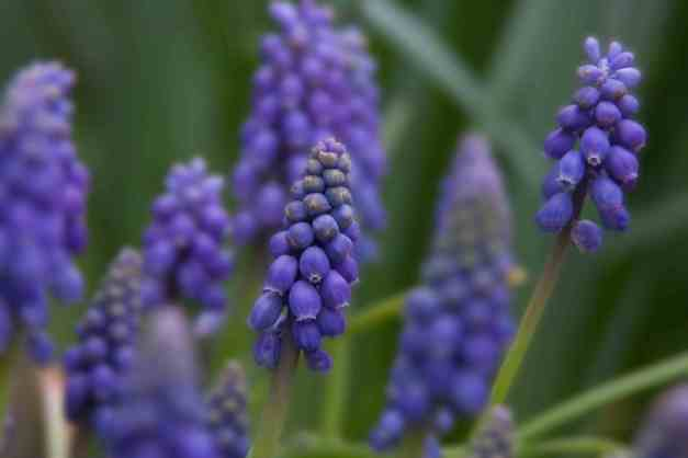 Muscari blue 3 low res
