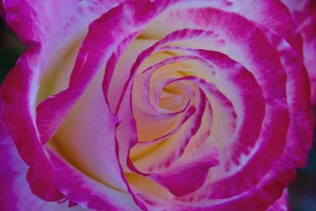 Rose variegated bloom low res