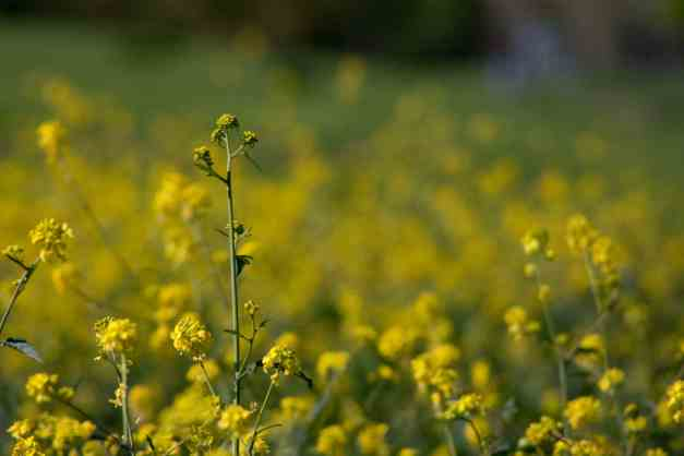 Black mustard 3 low res