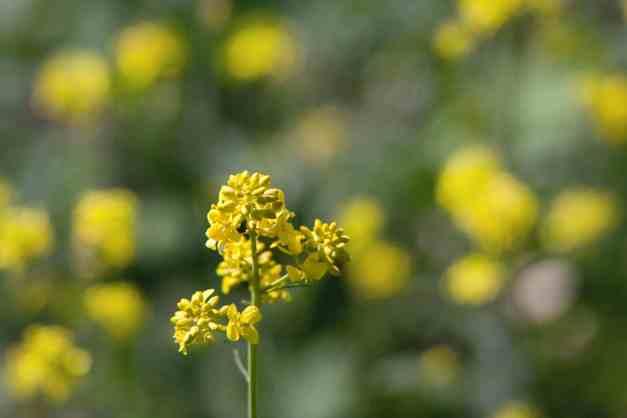 Black mustard 4  low res