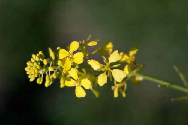 Black mustard 9 low res