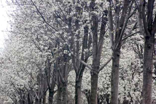 Blossom Avenue 5 low res