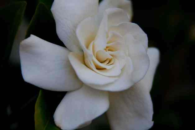 Gardenia low res
