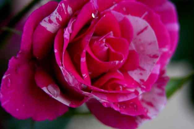 Pink rose wet 3 low res