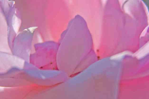 Rose pink low res
