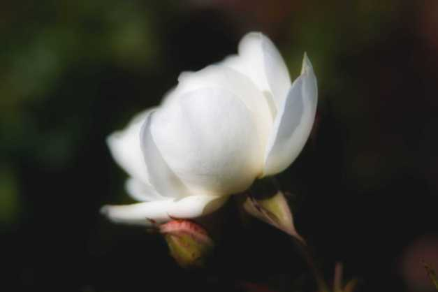 Rose white Orton 2 low res