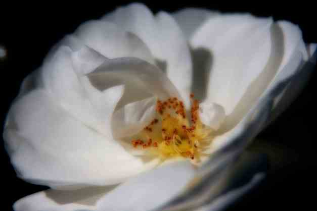 Rose white Orton 4 low res