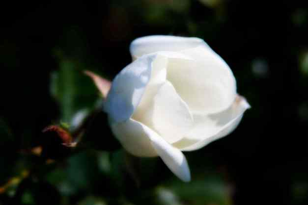 Rose white Orton 7 low res
