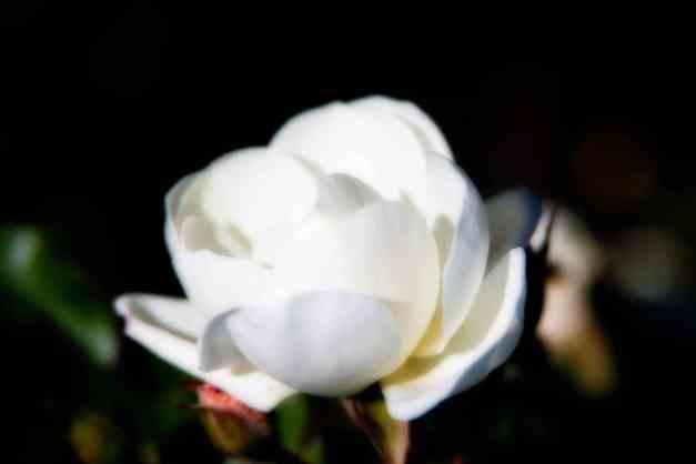 Rose white Orton 9 low res