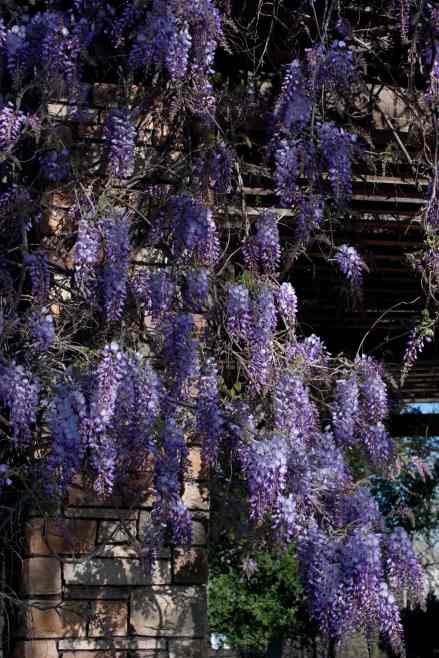 Wisteria low res
