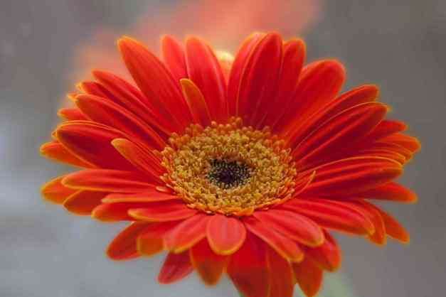 Gerbera Orange window low res