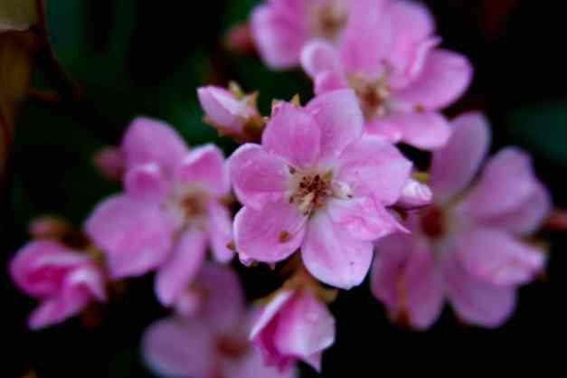 Indian Hawthorn 6 low res