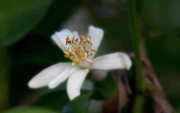Lemon blossom 3 low res