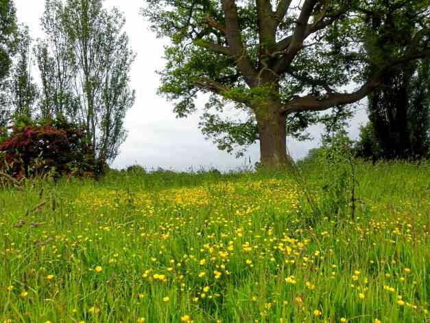 Maresfield buttercups low res