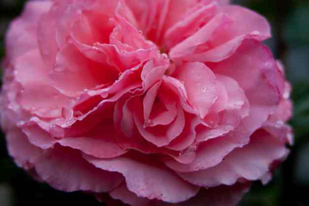 Rose pink fluffy 3 low res